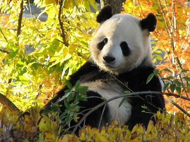 Giant-Panda-China-National-Animal