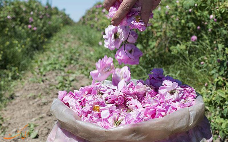 حقایقی از بلغارستان - گل رز