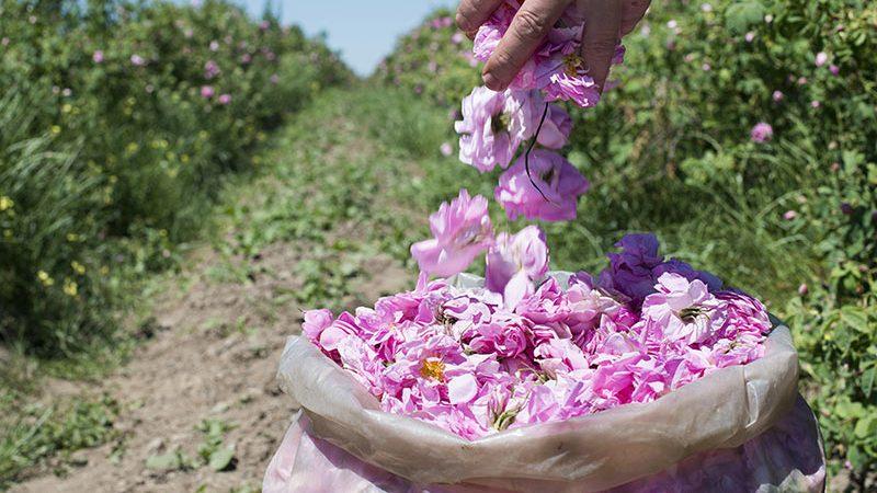گل رز بلغاری