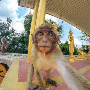 سلفی یک میمون