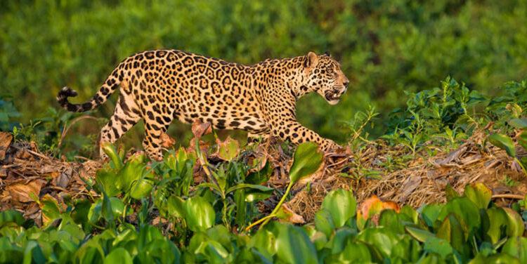 حیات وحش برزیل