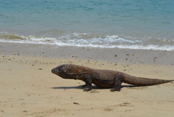 The Komodo Dragons