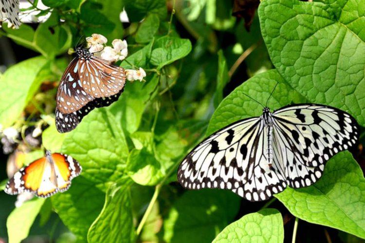 مزرعه پروانه