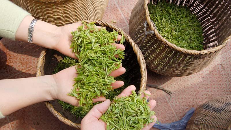 Green tea in china