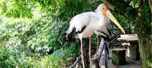 white-stork-in-kuala-lumpur-bird-park