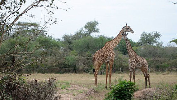 Giraffe in East Africa