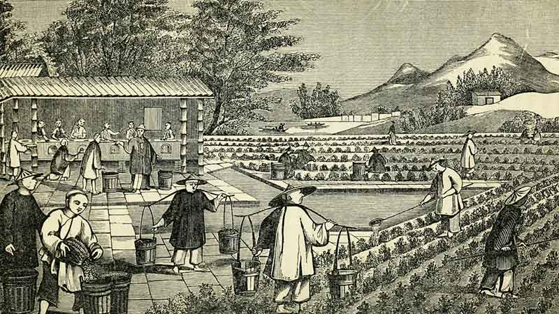 history of tea in china