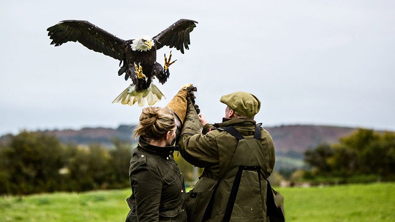 Falconry in Dartmoor National Park, Devon