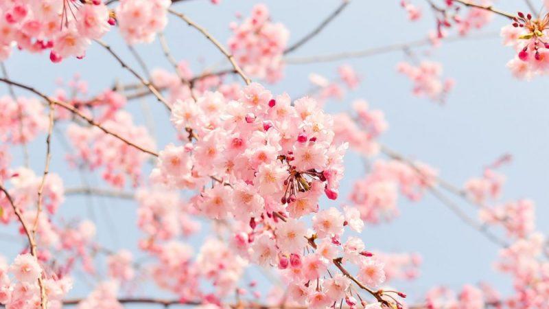 japan-blossoms