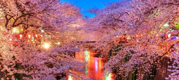 japanese-cherry-blossoms