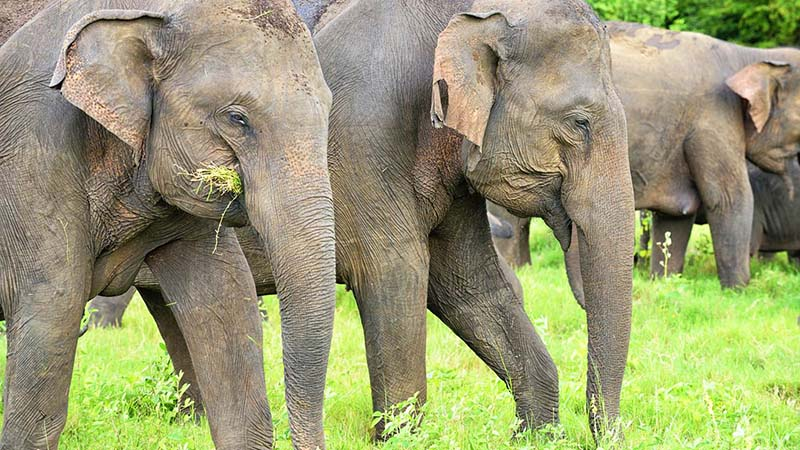 elephant in siri lanka
