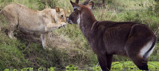 Waterbuck facing off with a lion