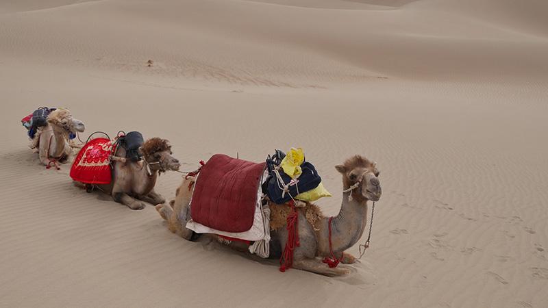 camels in Xinjiang