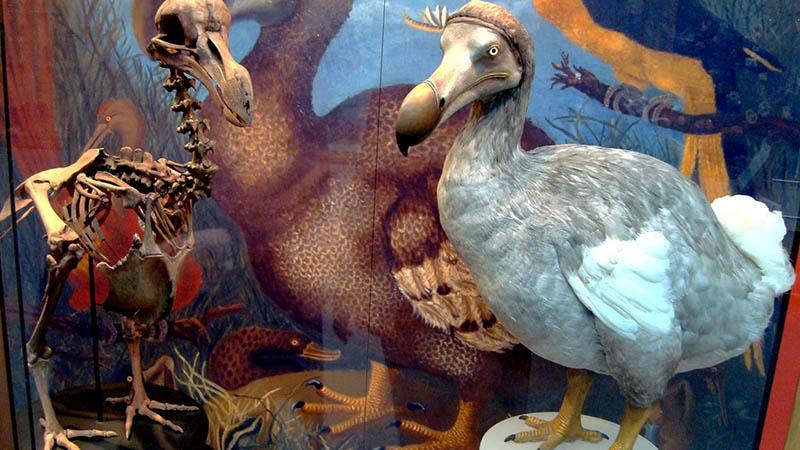 dodo bird mauritius