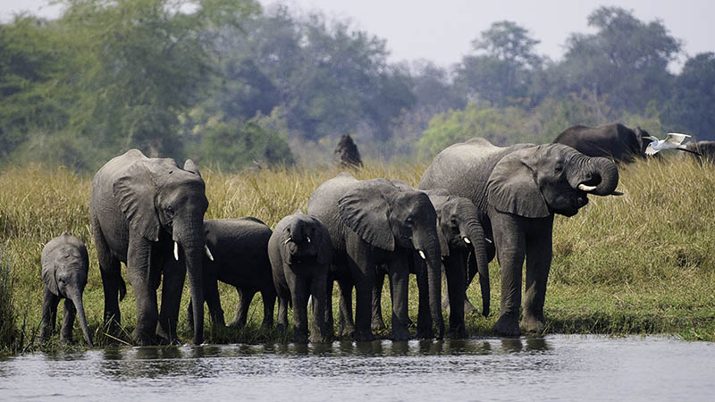 An elephant herd slating their thirst at the Shire River