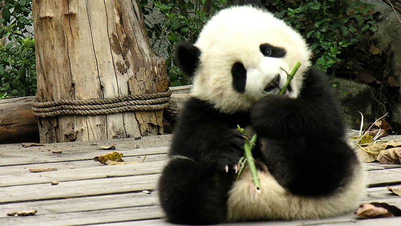 panda in Lou Guan Tai