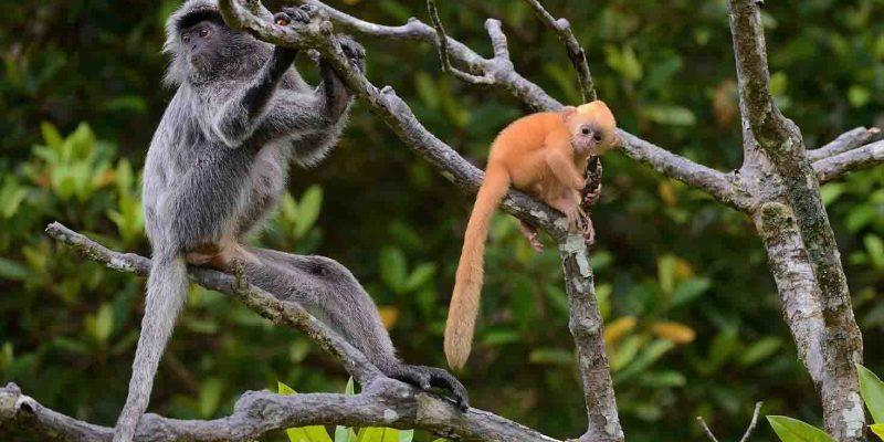 silvered-leaf-monkeyes-malaysia