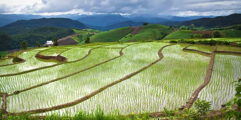 thailand-rice-field-chaingmai
