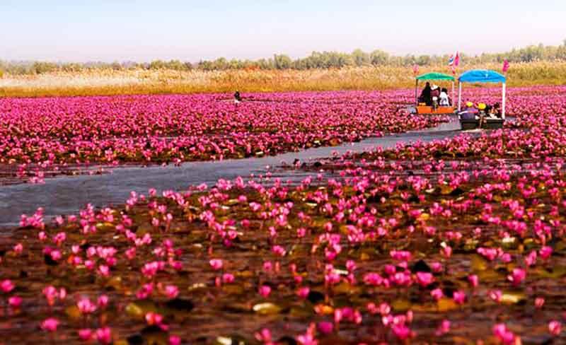 قیق سواری در دریاچه نیلوفر قرمز تایلند