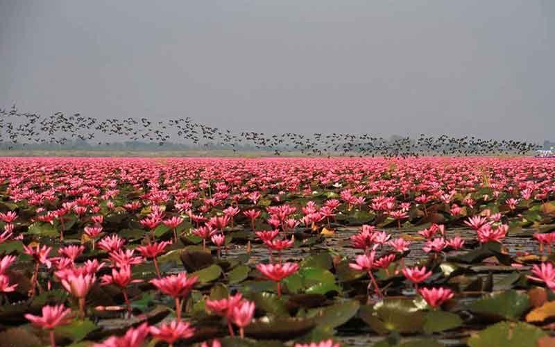 دریاچه نیلوفر قرمز تایلند