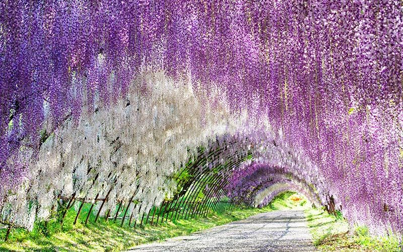 تونل ویستریا؛ ژاپن