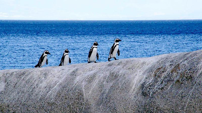 پنگوئن های ساحل بولدرز
