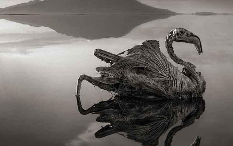 پرنده سنگ شده دریاچه ناترون