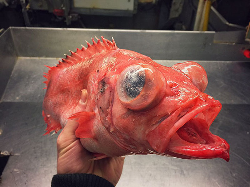 مخلوقات دریا | شکار میهیگیر روسی