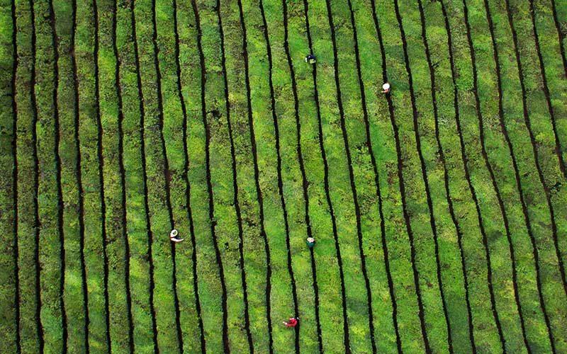 افراد کارگر مزرعه چای