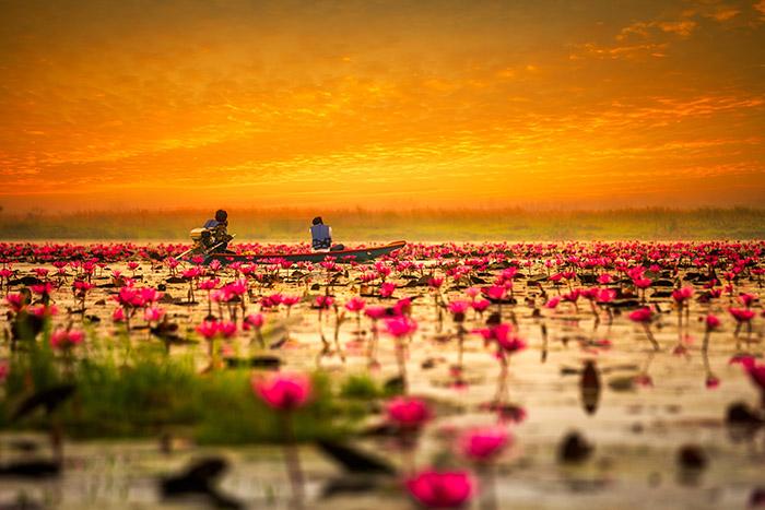 دریای نیلوفر قرمز در تایلند