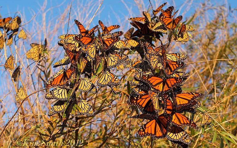 مهاجرت پروانه های مونارک