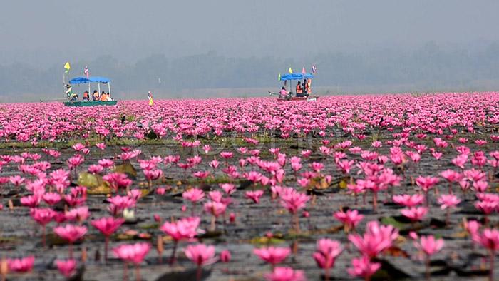 عکس دریای نیلوفر قرمز در تایلند
