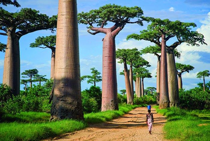 زیباترین مکان های روی زمین | درختان بائوباب