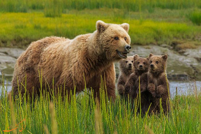 خرس های قهوه ای سوئد