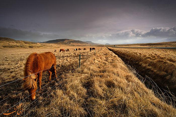اسب های وحشی ایسلند
