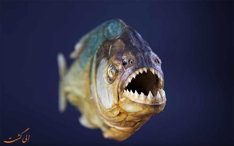 ماهی گوشتخوار