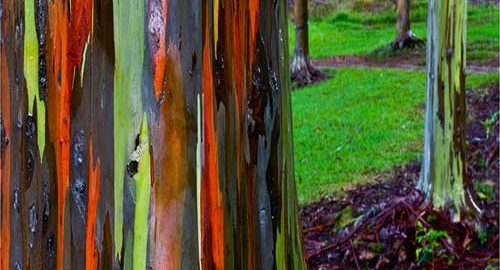 درخت اکالیپتوس رنگین کمانی