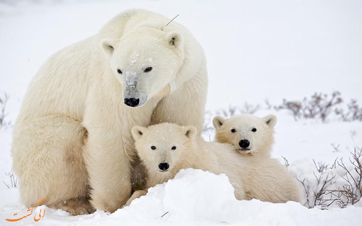 خرس های سفید قطبی