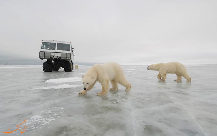 خرس های زیبای قطبی
