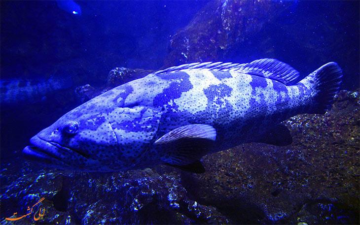 ماهی های بزرگ آکواریوم کیش