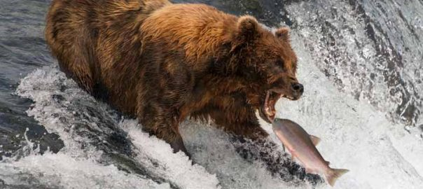 خرس های گرسنه