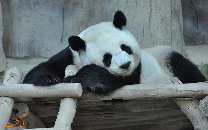 پاندای باغ وحش چیانگ مای