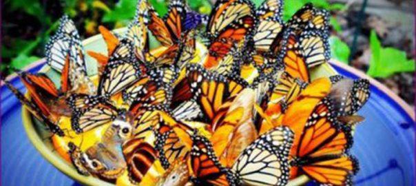 پروانه های روستا