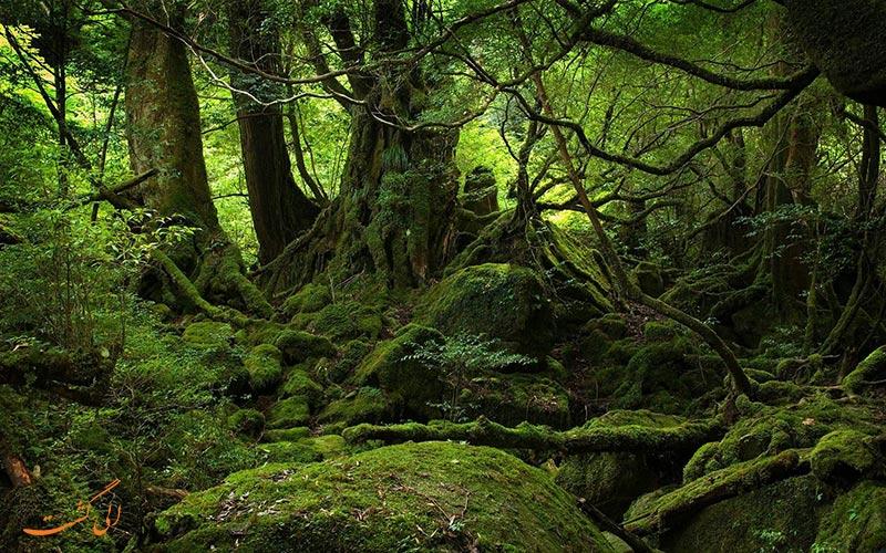 جنگل آئوکی گاهارا ژاپن