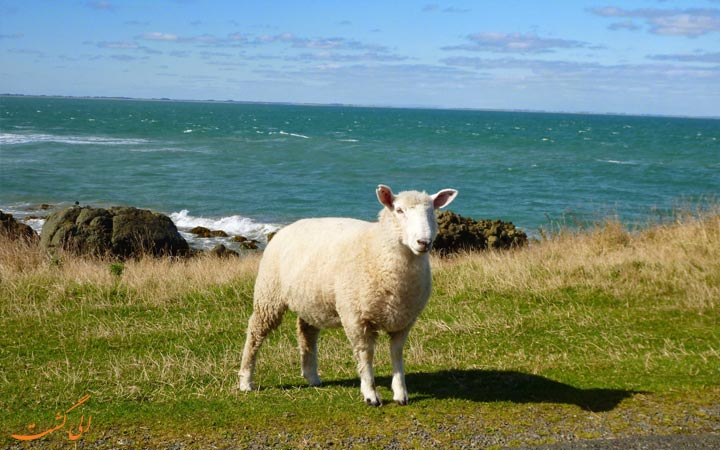 گوسفند اسلوپ پوینت