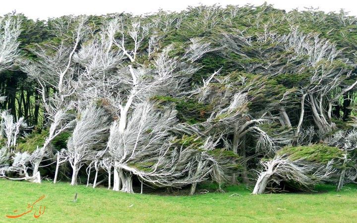 درختان نیوزیلندی