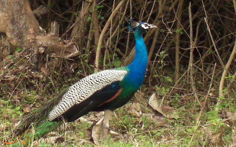 پرندگان پارک ملی باندی پور