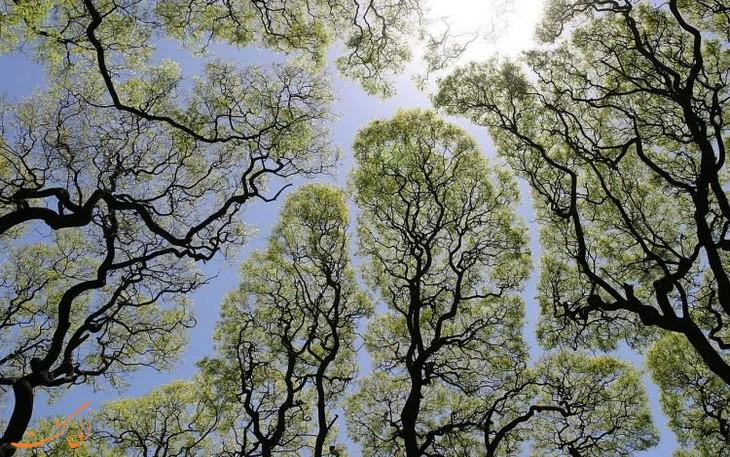 درختان خجالتی
