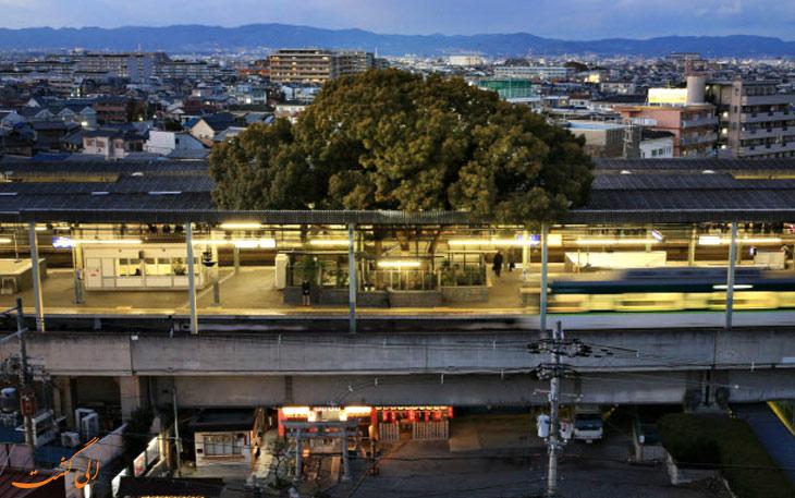 درخت کهنسال در ژاپن