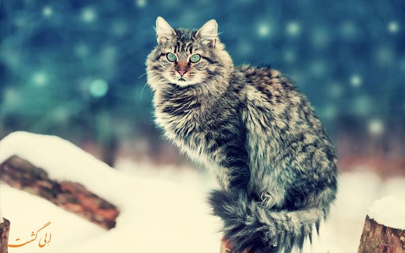 گربه نروژی